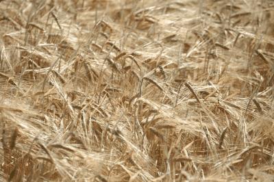 Image: Barley Australia