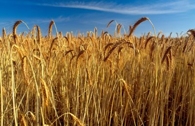 Wheat crop ready to harvest.